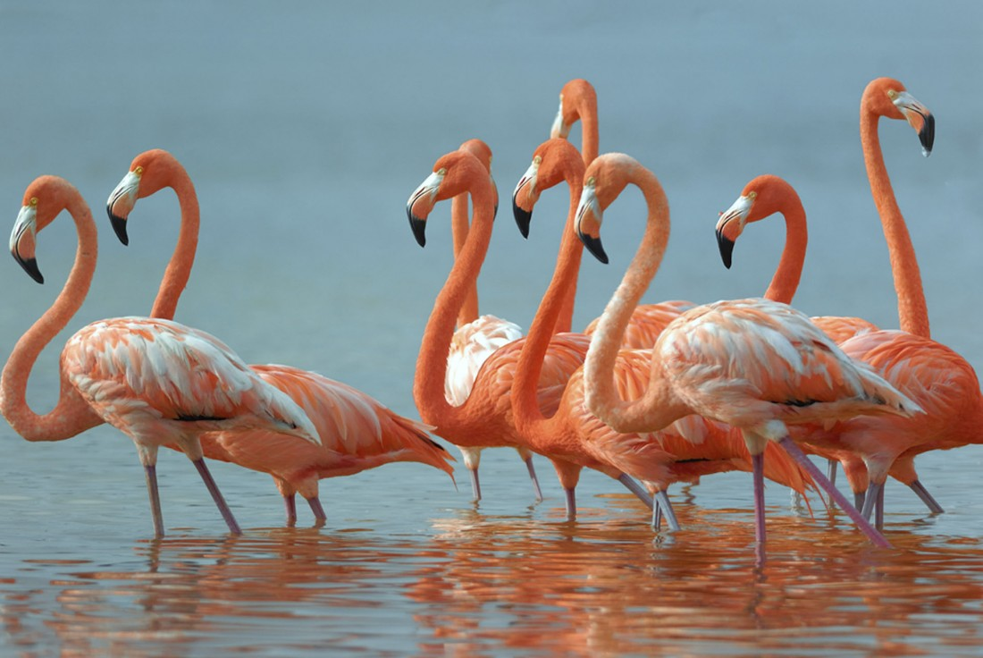 American Flamingoes